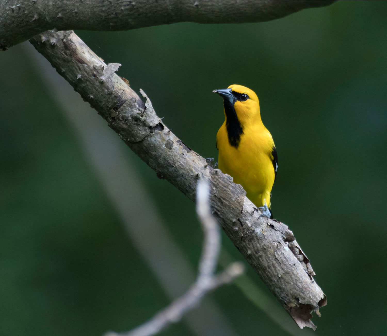 The yellow oriole (Icterus nigrogularis) is a common bird species in T&T gardens — and maybe one for your Bioblitz checklist. Photo by Devan Mulchansingh, courtesy T&T BioBlitz