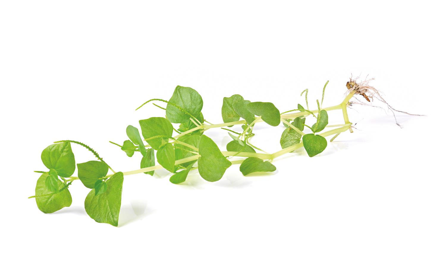 Shining bush, a common wild herb found in many backyards, may have cholesterol-reducing properties. Photo by Macmontree/Shutterstock.com