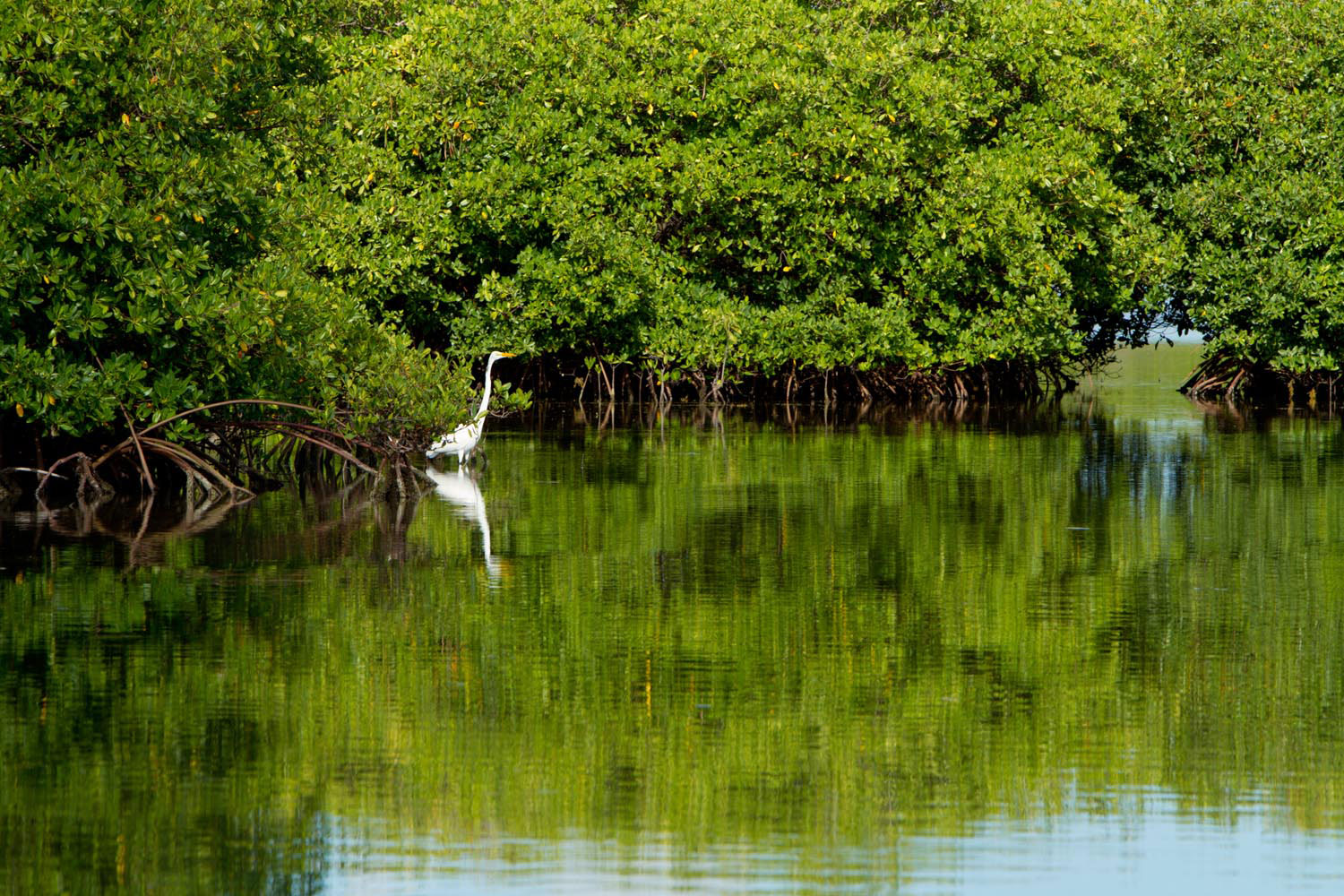 A lone egret stalks through the mangrove forest of Antigua's North Sound. Photo courtesy Antigua and Barbuda Tourism Authority