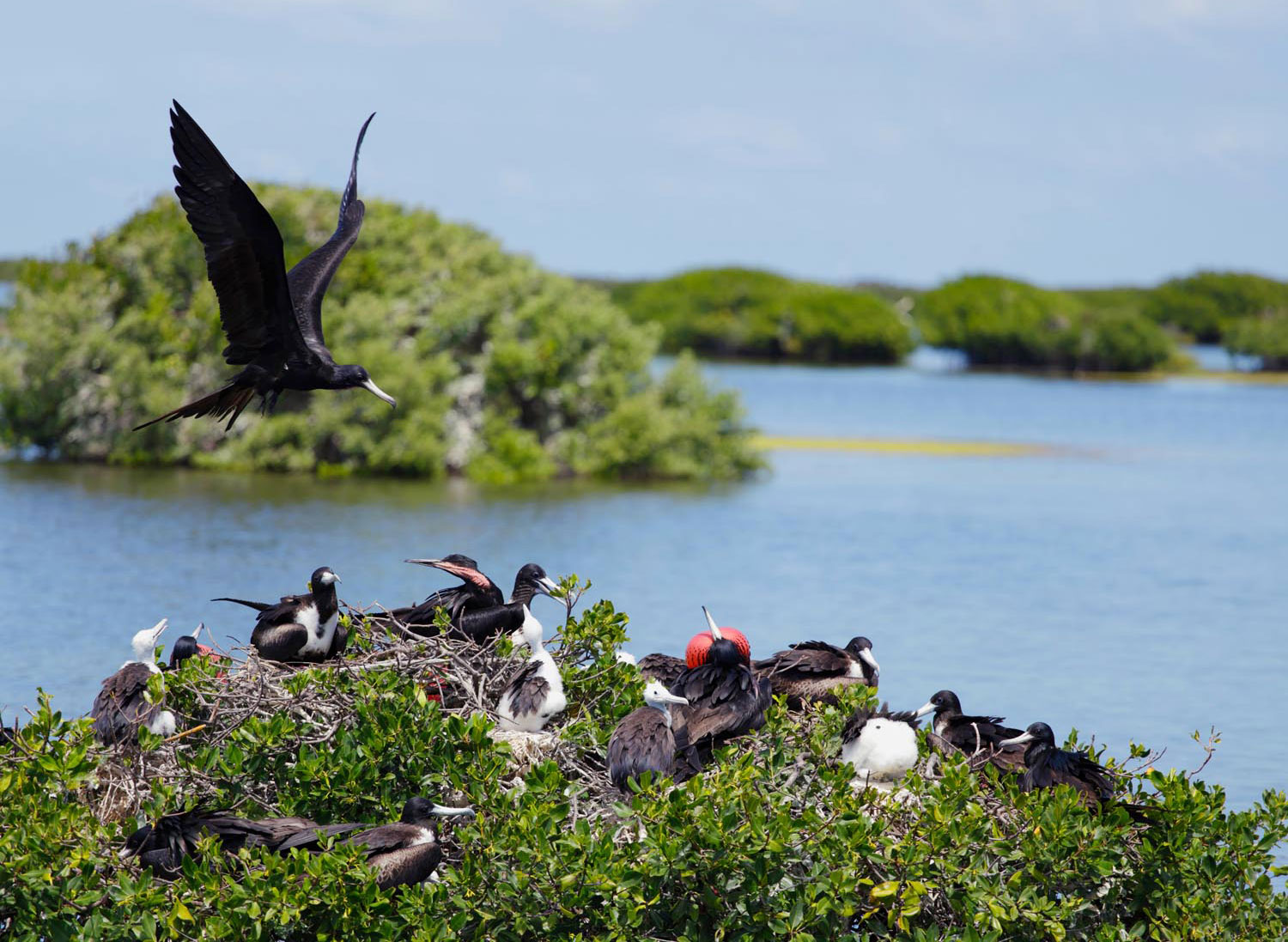 Barbuda's Codrington Lagoon is home to the world's largest colony of frigatebirds. Photo by Temmuzcan/iStockPhoto