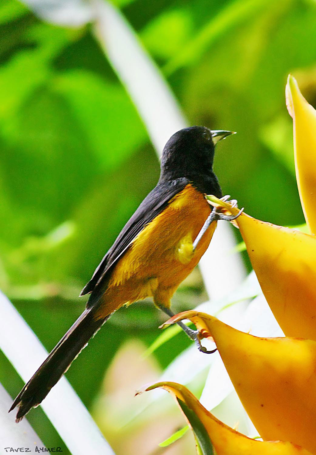 Though the Montserrat oriole's habitat was affected by the Soufrière Hills eruptions, its numbers are rebounding. Photo courtesy Montserrat Tourism Division