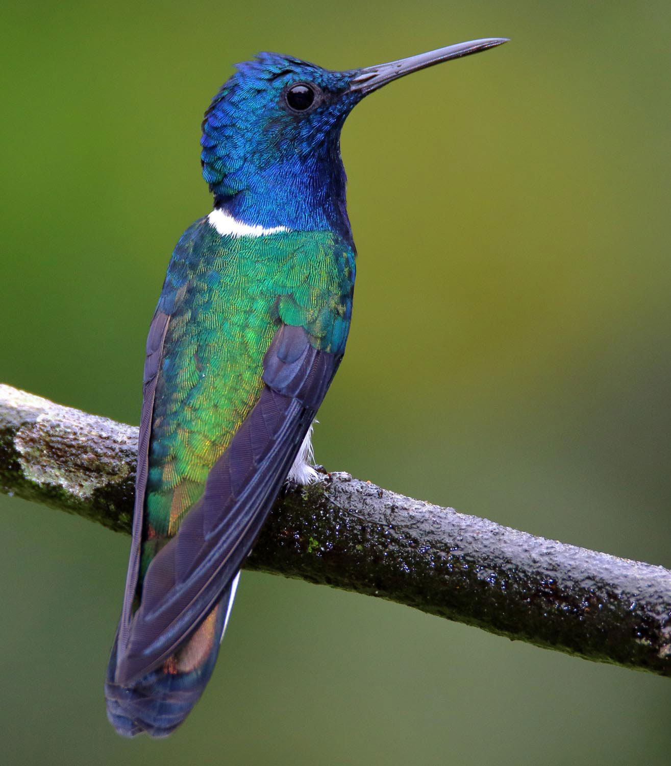 Trinidad's diverse bird life — like this white-necked jacobin — is famed among birdwatchers worldwide. Photograph by Paul Wittet/Shutterstock.com