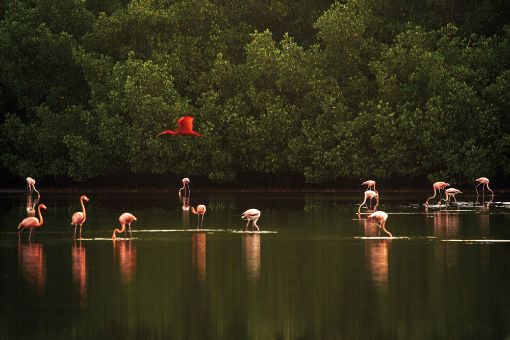 """A scarlet ibis (Eudocimus ruber), national bird of Trinidad, wings past a flock of feeding American flamingos (Phoenicopterus ruber) in the Caroni Swamp. """"It was my first time seeing flamingos,"""" recalls Jason Audain. """"We were at the bird sanctuary from around 5 am. We saw the sun rise, and I noticed the ibis by itself. It saw me, then flew away. I followed it, and kept snapping."""" Photo by Jason Audain"""