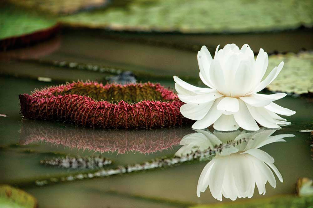 The celebrated Victoria amazonica lily, with its six-foot-wide leaves and night-blooming flowers, is a treasure of the Rupununi. Photo by Pete Oxford