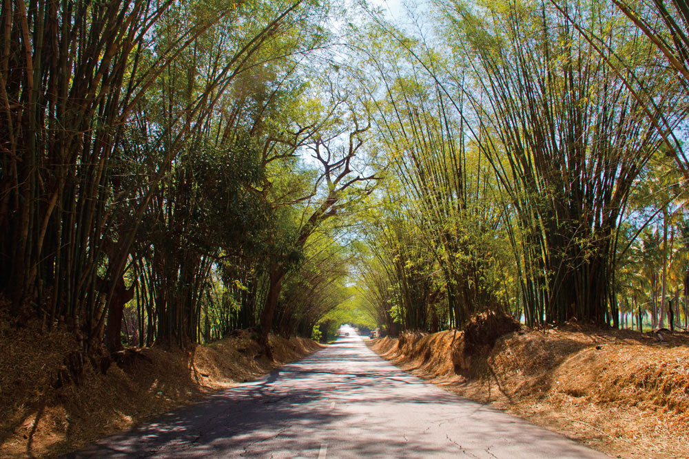 Said to have been first planted in the seventeenth century, Bamboo Alley in St Elizabeth Parish stretches for two and a half miles between the villages of Lacovia and Middle Quarters — a sun-dappled tunnel of green along the road to the south coast. Pho