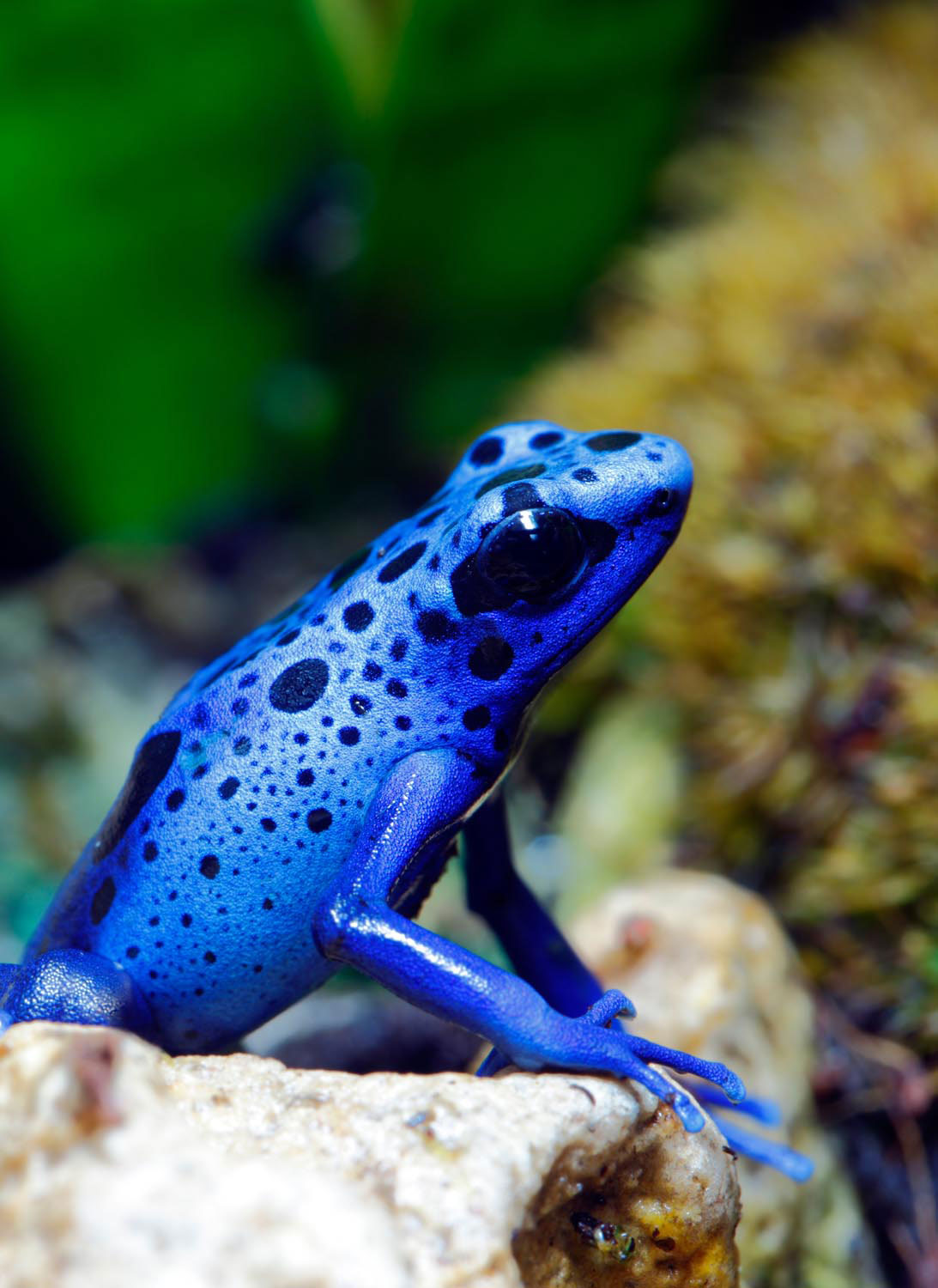 The blue poison dart frog is the most vivdly coloured inhabitant of Suriname's rainforests. Photo by ABDESIGN/iStockPhoto