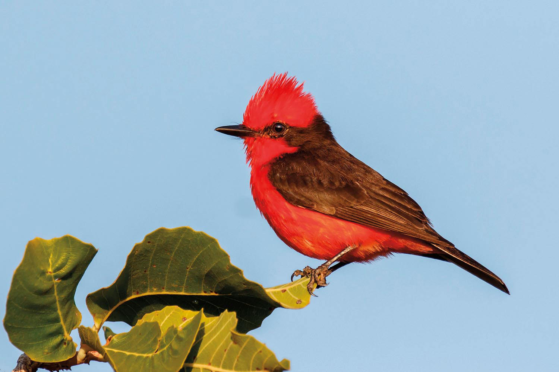 Vermilion Flycatcher (Pyrocephalus rubinus) perched in Annai, Guyana. Photo by Kester Clarke/Alamy Stock Photo