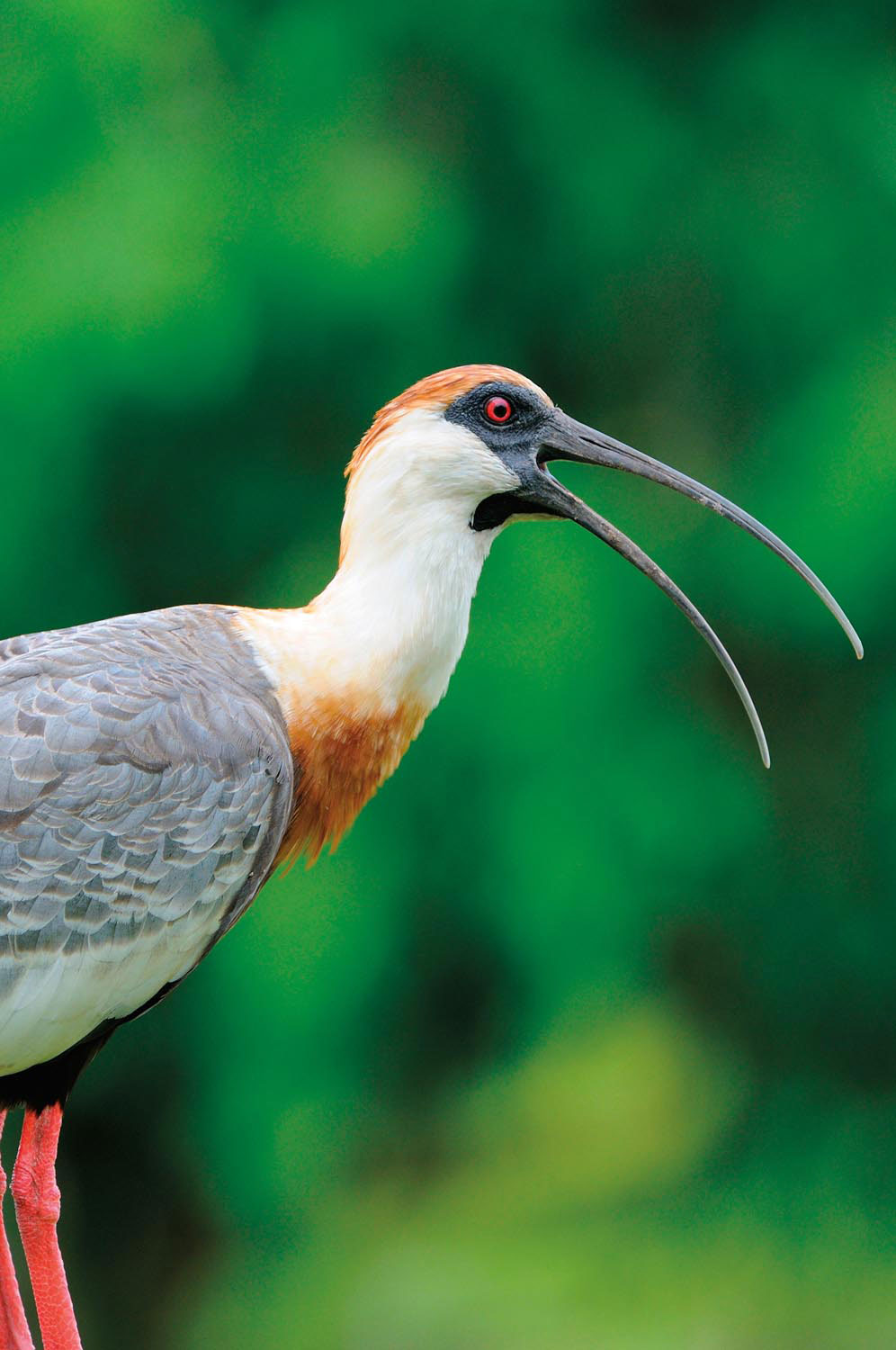 A Buff-necked Ibis (Theristicus caudatus), one of the numerous bird species found in Guyana's Rupununi. Photo by Malcolm Schuyl/Alamy Stock Photo