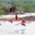 Wild flamingos at Saliña Sint Marie. Photo by Gail Johnson/Shutterstock.com