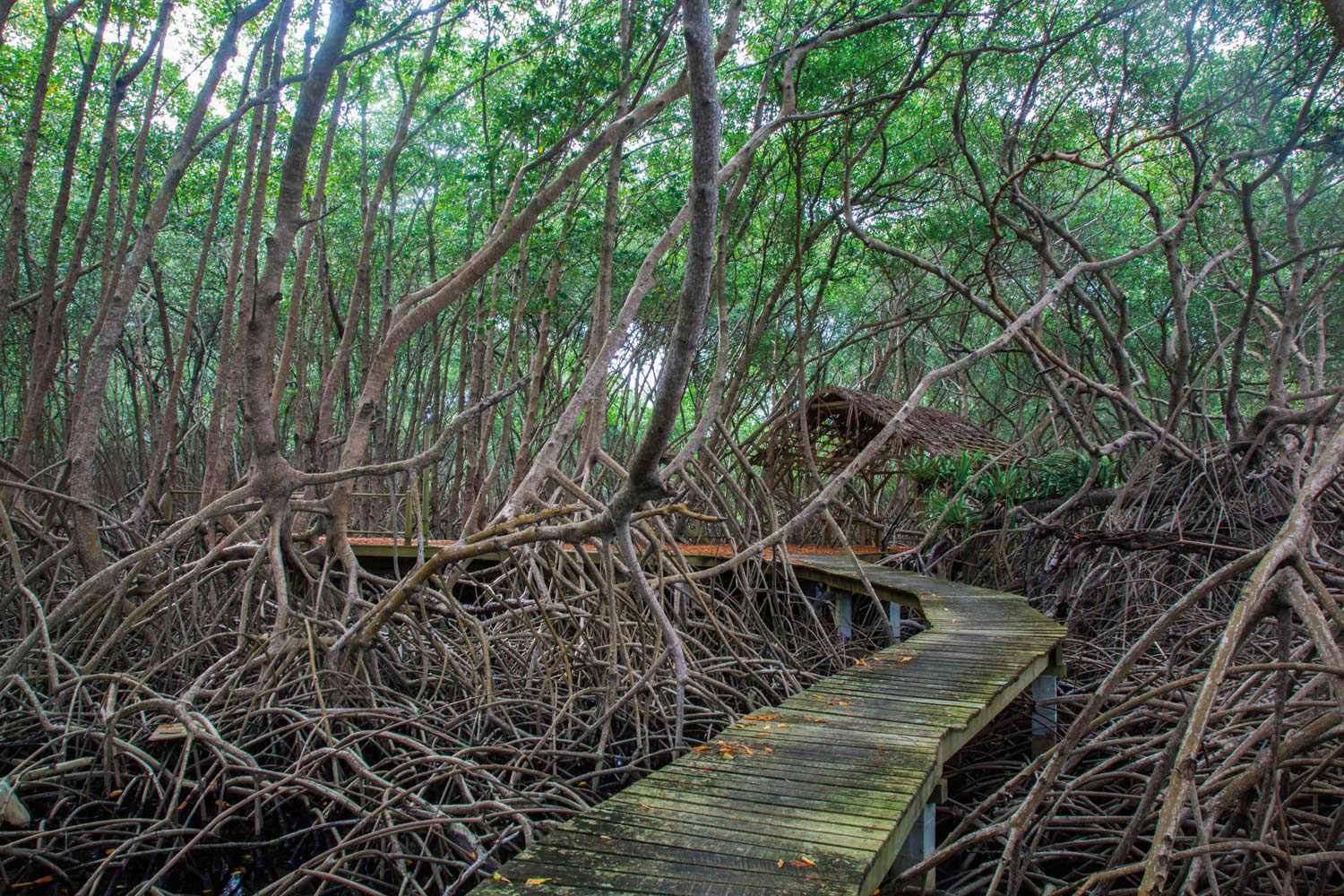 The mangrove forest at Tobago's Bon Accord Lagoon is a crucial wetland habitat. Photo by Ariann Thompson