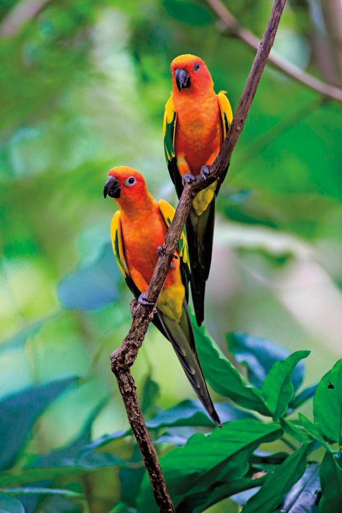 A sociable species, the sun parakeet is usually found in flocks of up to thirty individuals. Photo by Imagebroker/AlamyStock Photo