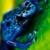 Blue poison dart frog, Suriname