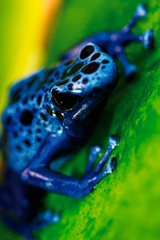 Blue poison dart frog, Suriname Known in Latin as Dendrobates tinctorius and in indigenous Tirio as okopipi, this brightly coloured frog, native to rivers and streams in Suriname's interior forests, has no need for camouflage. Rather, its azure markings serve as a warning to possible predators — it's not called a poison dart frog for nothing. Each frog's pattern of markings is as distinctive as a fingerprint. It's a favourite of frogkeeping hobbyists worldwide, but there's nothing like the thrill of spotting one of these small, brilliant creatures in its wild habitat. Photo by Moriah Quinn / Alamy Stock Photo