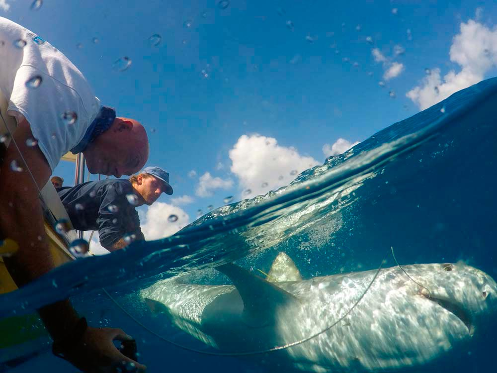 Tagging a shark off Sint Maarten. Photo by Tadzio Bervoets/courtesy Nature Foundation Sint Maarten