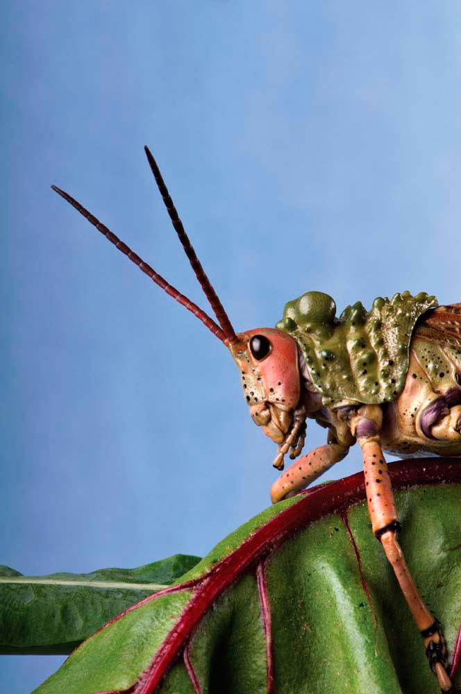 Since Biblical times, locusts have been feared for the damage they can do to crops. Photo by Catchlight Lens/Shutterstock.com