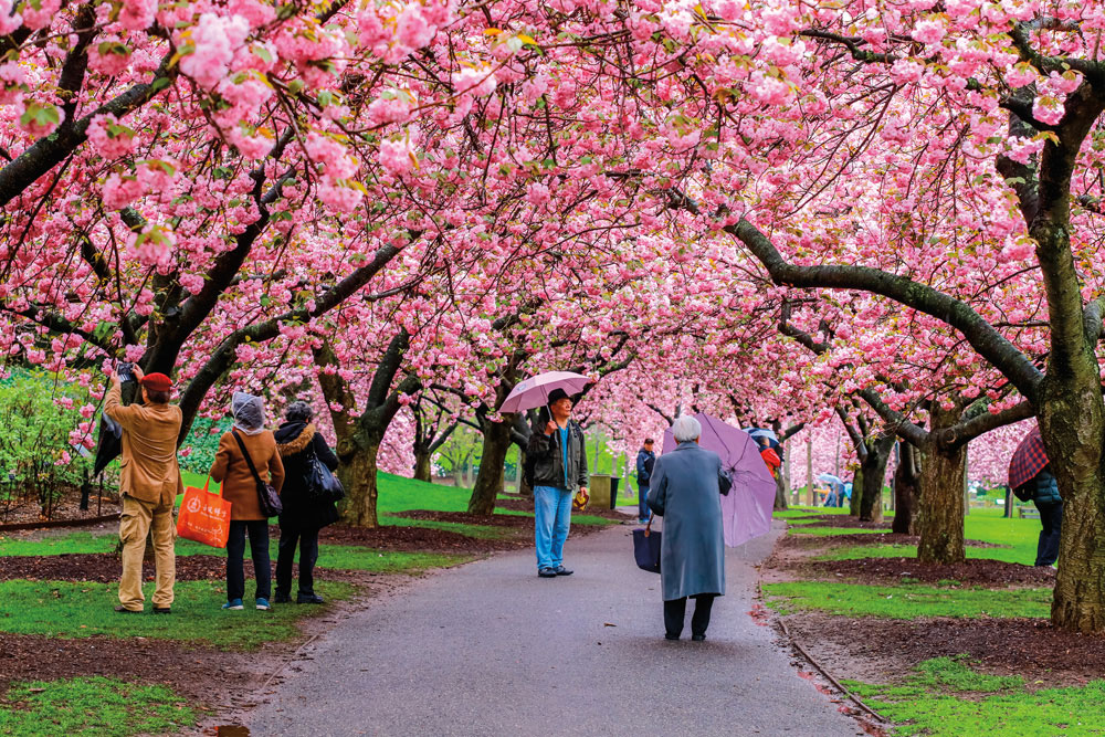 Springtime in the Brooklyn Botanic Garden: cherry trees in bloom. Photo by NattyC/Shutterstock.com