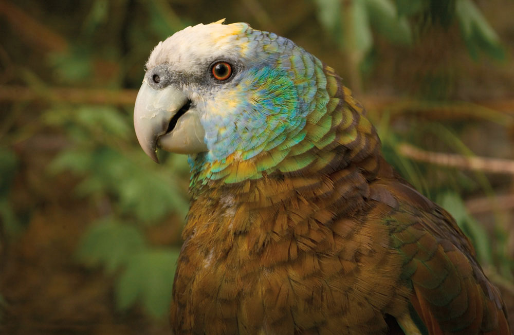 Spot the endangered St Vincent Parrot along the Vermont Nature Trail — or at Kingstown's historic Botanic Gardens. Photo by Krystyna Szulecka/Alamy Stock Photo