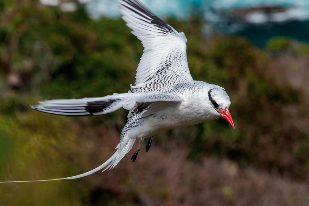 A red-billed tropicbird, at its nesting site on Little Tobago. Photo by Rapso Imaging