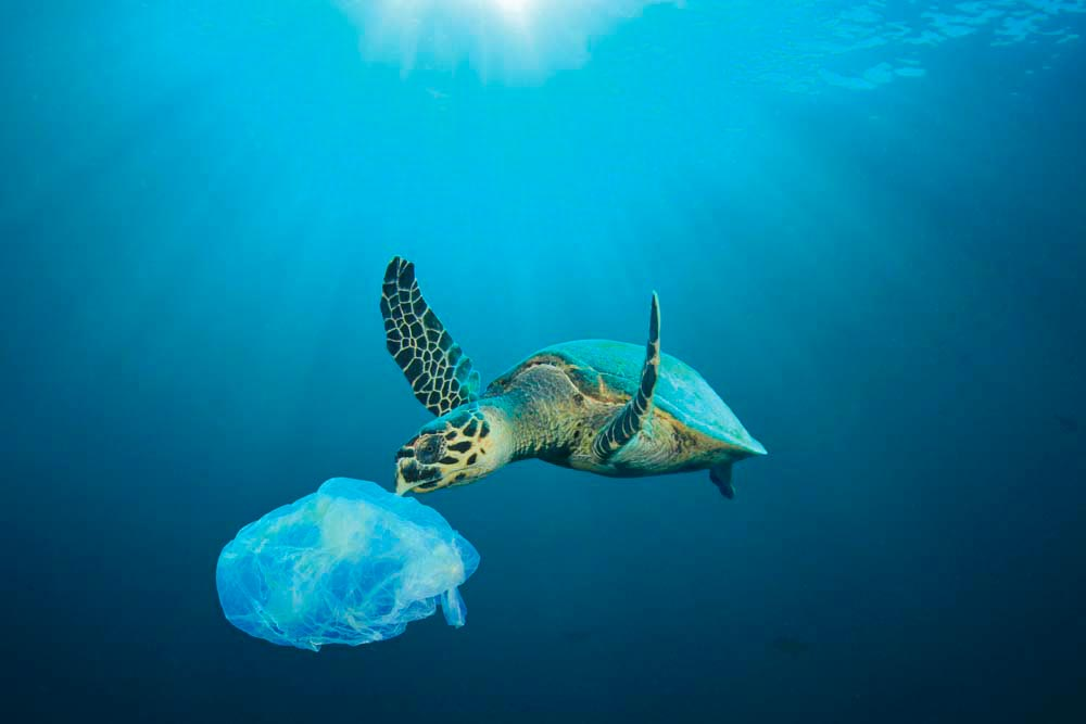 Washed into the ocean, plastic bags can be mistaken by sea turtles for jellyfish, part of their regular diet. Photo by Rich Carey / Shutterstock.com