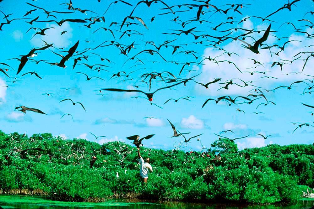 Frigatebirds at the Codrington Lagoon. Photo by Allan Aflak