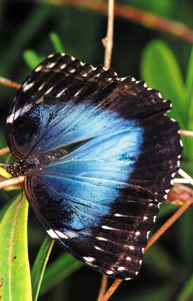 The Emperor Butterfly. Photograph by Alex Smailes