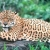 Spotting the elusive jaguar is the goal of many visitors. Photograph courtesy the Tourism and Hotel Association of Guyana