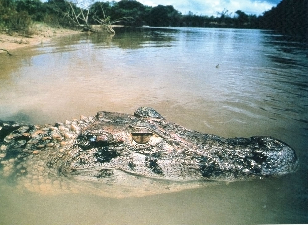 Guyana's vast rivers are home to creatures both scaly...Photograph courtesy the Tourism and Hotel Association of Guyana