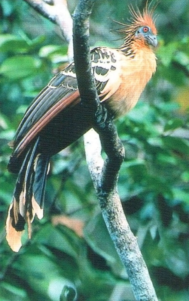 The Canje Pheasant or Hoatzin, Guyana's national bird. Photograph courtesy The Tourism and Hotel Association of Guyana