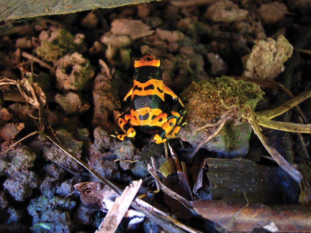 """A tiny """"poison"""" frog takes shelter under a wood cabin on Mt Aranaputa. Photo by Nicholas Laughlin"""