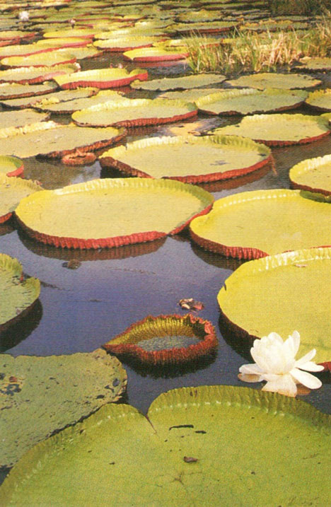 Victoria lilies on the river at Karanambo. Photograph by Abigail Hadeed