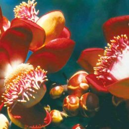 The flower of the cannonball tree. Photograph courtesy the Tourism and Hotel Association of Guyana