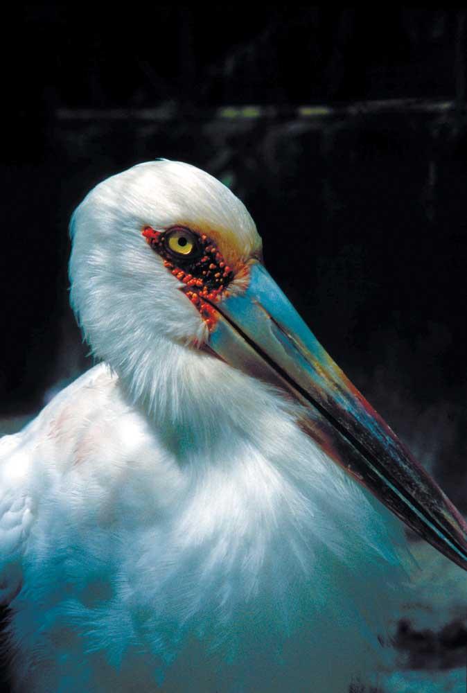 Jabiru stork. Photograph courtesy the Tourism and Hotel Association of Guyana