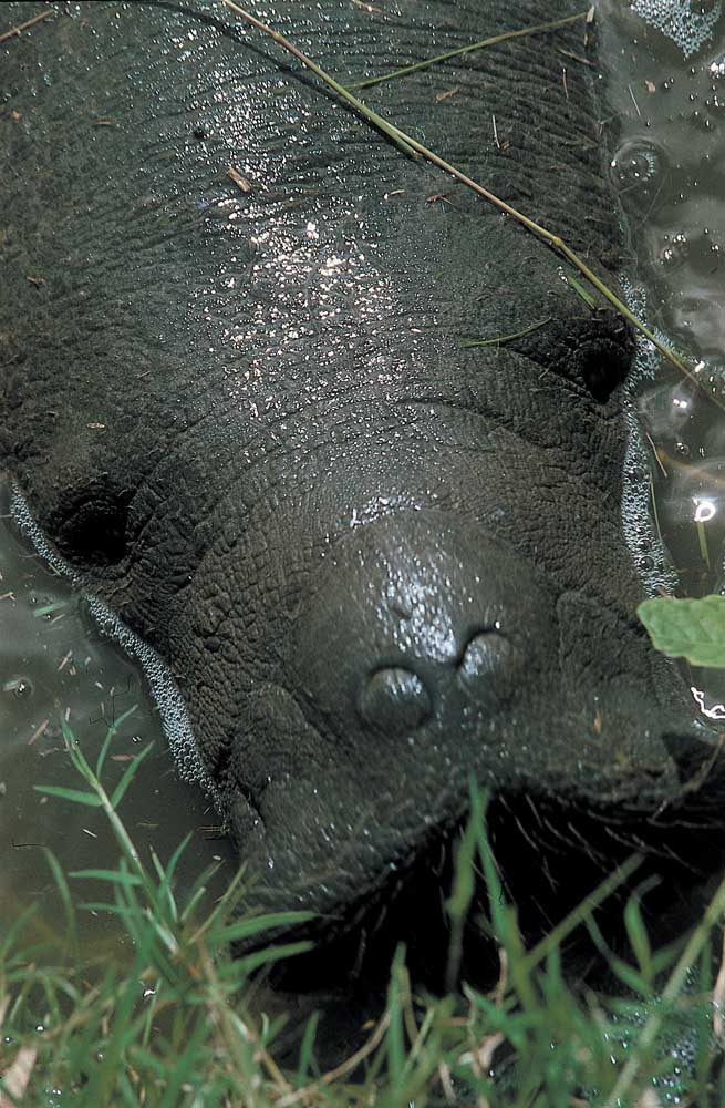 West Indian manatee. Photograph by Ian Brierley