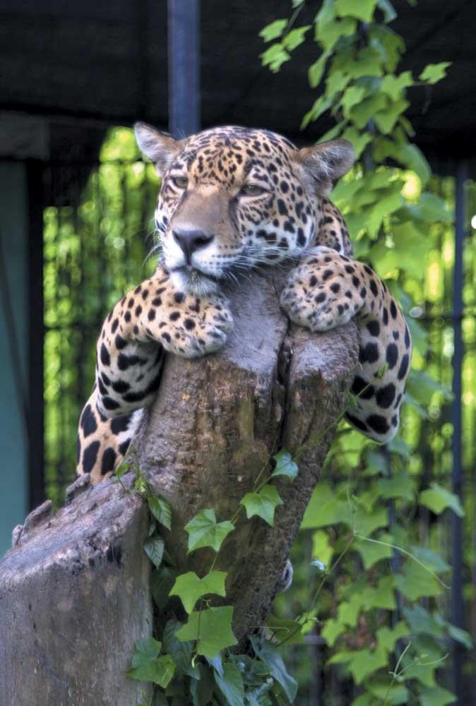 Jaguar. Photograph by Ian Brierley
