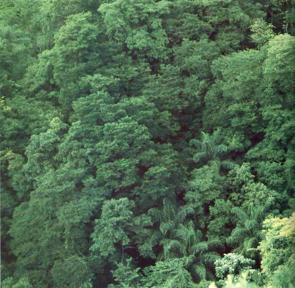 Thick forest canopy on Trinidad's northern range. Photo courtesy Forestry Division, Trinidad and Tobago
