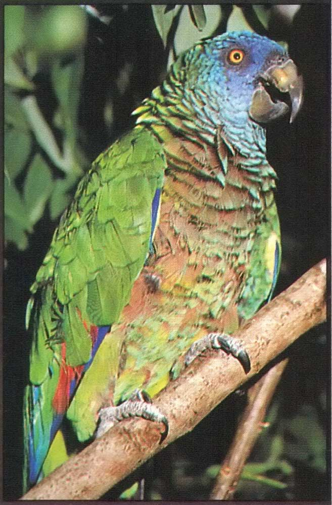 St Lucia parrot, Amazona versicolor, brought back from the edge of extinction. Photograph by Chris Huxley