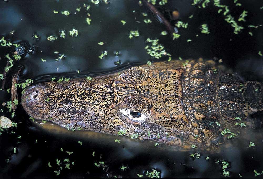 Black caiman. Photograph by Ian Brierley