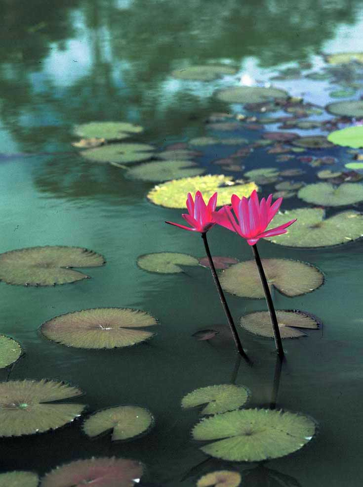 Water lilies. Photograph by Ian Brierley