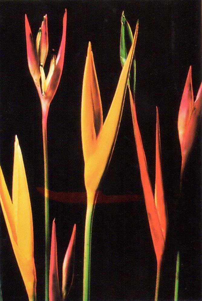 Small heliconias. Photographs by Barbara Martin