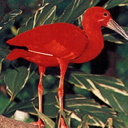 The Scarlet Ibis is Trinidad's national bird, and is featured in the national coat of arms. Large flocks live in the Caroni swamp on the west coast for much of the year. Photograph by Dr. Russell Barrow