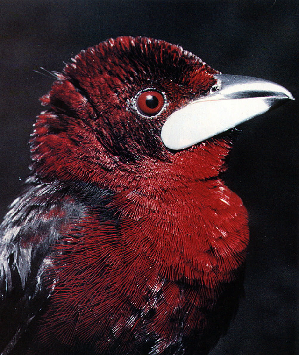 Forest birds: the Silver-beaked Tanager is found in forest and woodland up to about 2,000 feet. Photograph by Dr. Russell Barrow