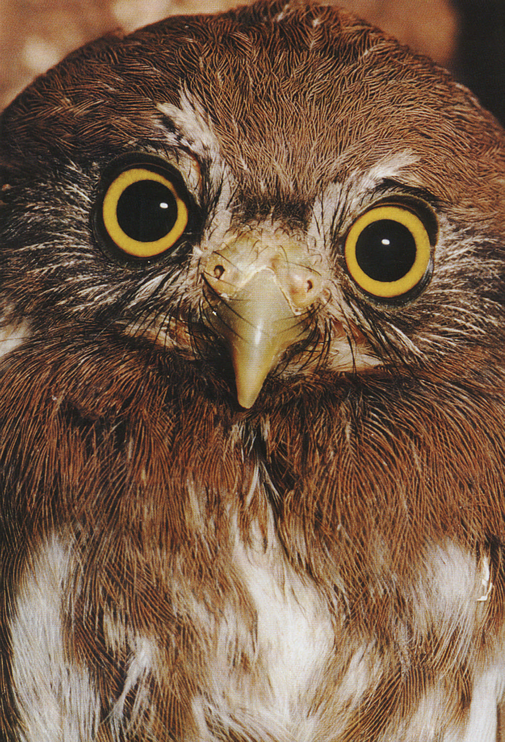 """The ferruginous pygmy-owl is the smallest of Trinidad and Tobago's owls, often only four and a half inches tall. In local folklore this is the """"jumbie bird"""" whose hoot can signify a death. Photograph by Roger Neckles"""