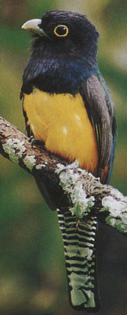 The violaceous trogon- this one is a male- likes to nest in termite or ants nests; it scoops ants into its feathers, the ants spray formic acid on the bird and thus kill any mites which could threaten the trogon's nest.