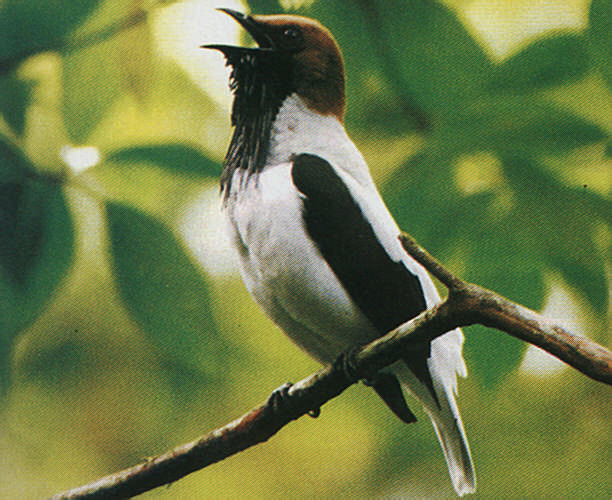 """The strange- looking bearded bellbird, one of the cotinga family, utters a bell-like hong sound that can be heard for miles around the valleys. It seems to be a bit of a ventriloquist too, which can make it hard to locate. The """"beard"""" consists of stringy wattles hanging from the neck"""