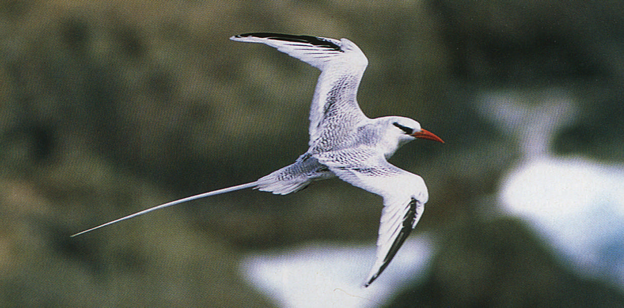 The red-billed tropicbird breeds on some small islands off Tobago, especially Little Tobago. At certain times of the year, resting birds will allow respectful intruders to come within a few feet.