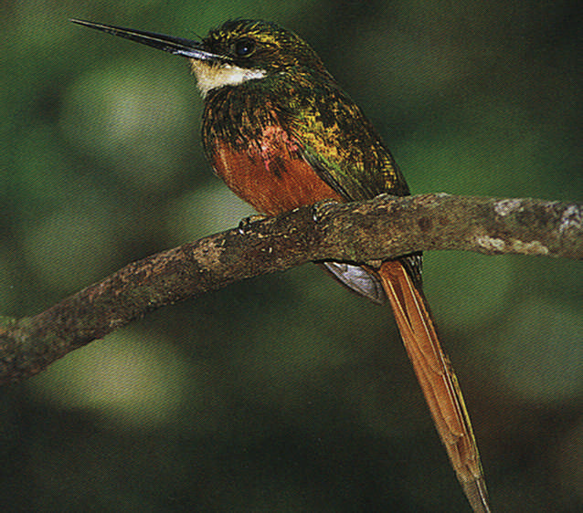 Common in both islands, the rufous-tailed jacamar looks like a giant hummingbird, but is not in fact related. It lives near rivers and streams, and feeds on insects and nests in holes on the banks.