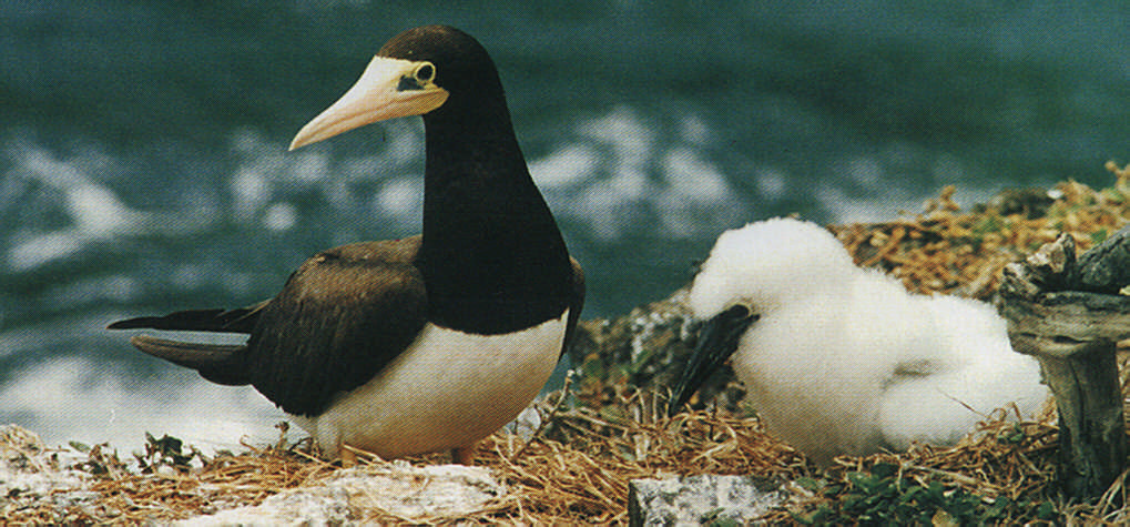 The brown bobby can be found on the island of Little Tobago, where many a seabird sequence has been filmed for natural history documentaries, notably those of David Attenborough