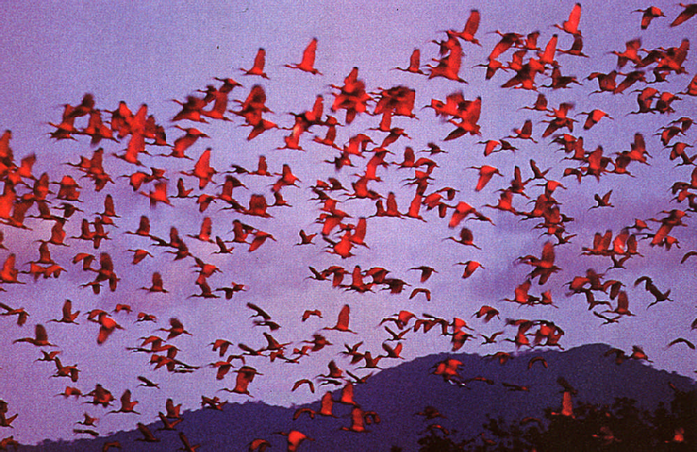 Scarlet Ibis over Trinidad's Caroni Swamp: every country needs to protect the diversity of its wild life