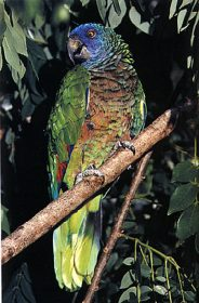 Back from the brink: the St. Lucia parrot