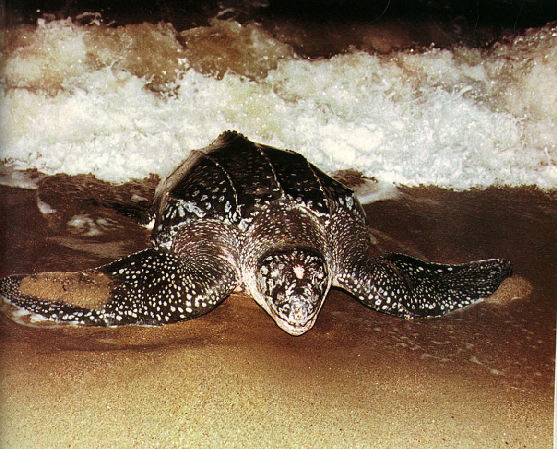 Endangered: a giant leatherback heaves itself onto the Trinidad sand